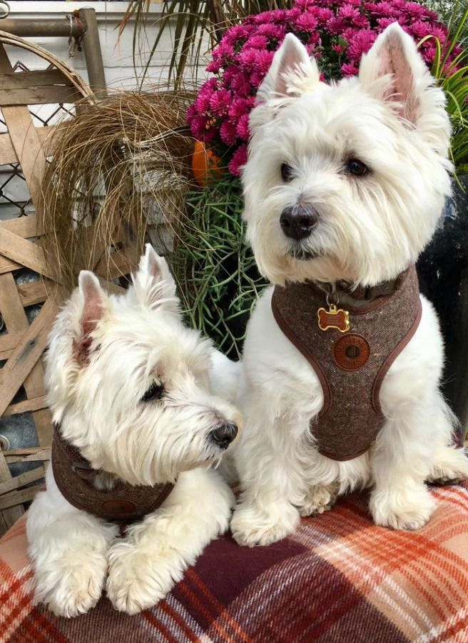 Colorful Vintage Christmas Decor Shop Dogs Giant Jingle Bells Now Hello Lovely Westie Terrier Westie Dogs Westie Puppies