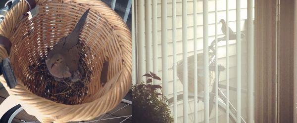 Nido a due ruote Alcuni raccolgono paglia, fieno e piccoli rami per realizzare il proprio nido, altri preferiscono trovarlo già pronto e arredato, come ad esempio questi uccellini che hanno scelto di nidificare all'interno di un bel cestino in vimini. Ma cosa succederà quando il proprietario della bicicletta deciderà di fare una pedalata in giro per la città?