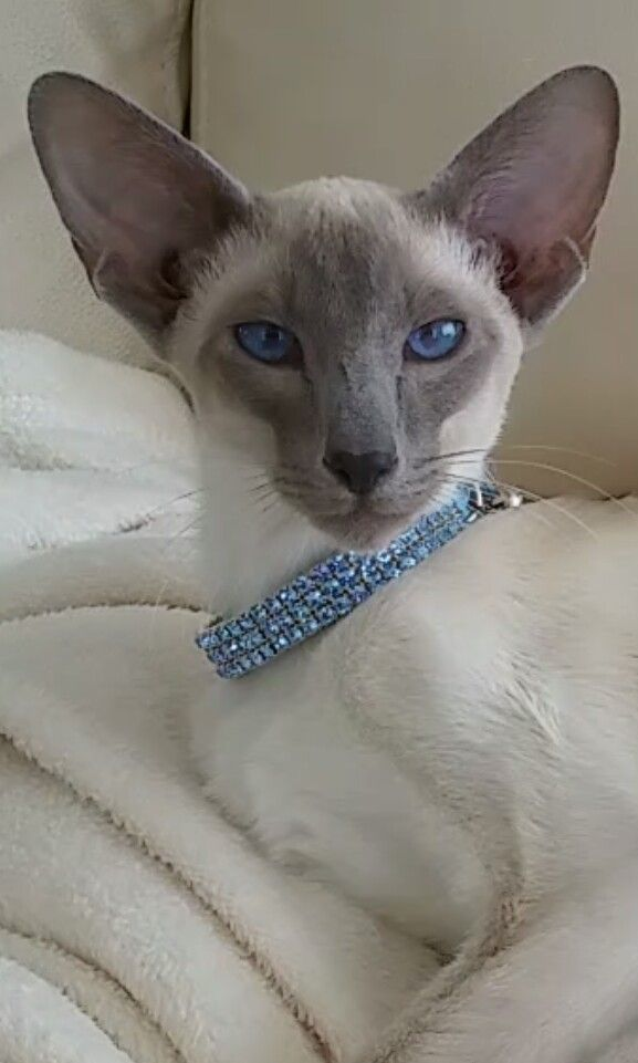 Desertrose Cats Siamese Cats Blue Point Oriental Shorthair Cats Cat Breeds