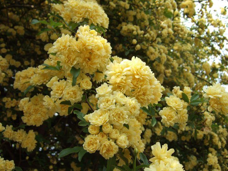 mejores 14 imágenes de rosas en pinterest | plantas, rosales y flor
