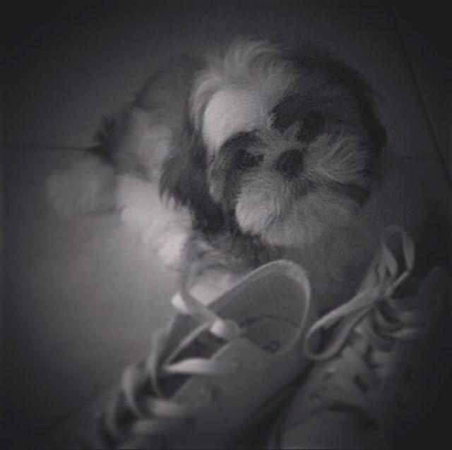 Shitzu es una raza de  perro muy cariñosa y fiel