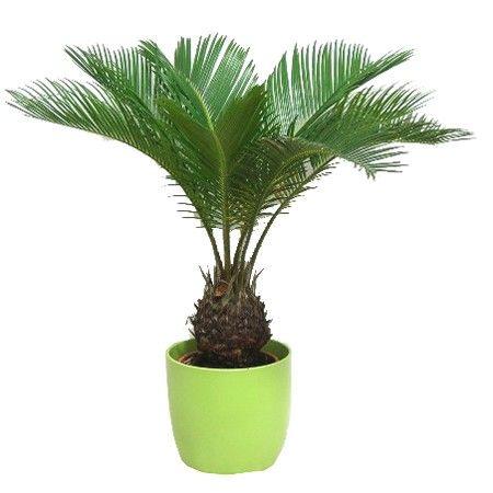 17 meilleures id es propos de palmier cycas sur for Plantes exotiques d interieur