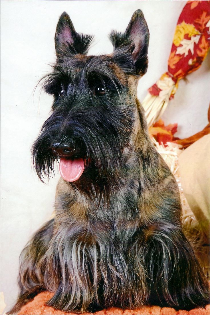 Stupell yorkie dog 3 panel decorative fireplace screen - Red Brindle Scottie