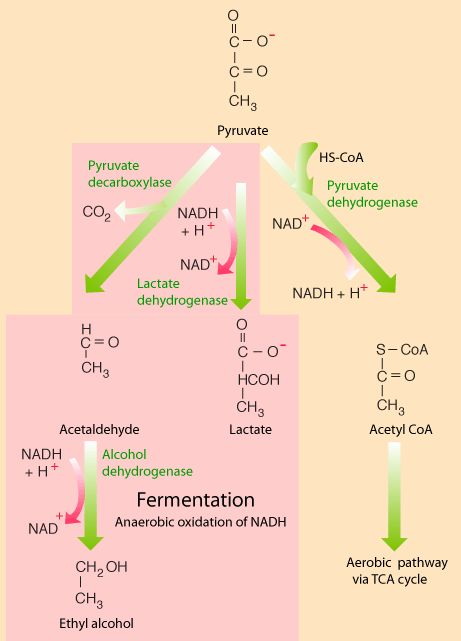 "Anaerobic Cellular Respiration - ""If oxygen is present... the cell can [use] aerobic respiration... to produce much more usable energy... than any anaerobic pathway.... Eukaryotic cells also resort to anaerobic pathways if their oxygen supply is low. For example, when muscle cells are working very hard and exhaust their oxygen supply, they utilize the anaerobic pathway to lactic acid to continue to provide ATP for cell function."""