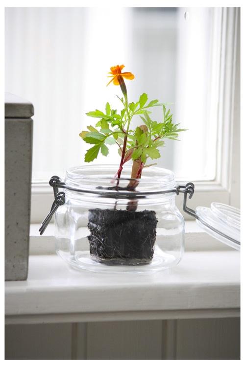 plante en bocal plantes green pinterest. Black Bedroom Furniture Sets. Home Design Ideas
