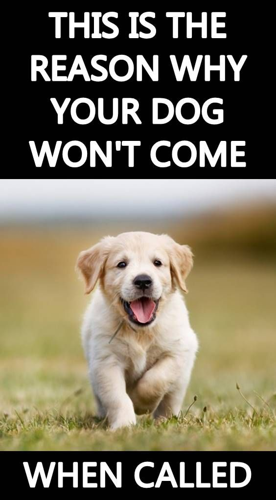 21 Spanish Dog Commands To Teach Your Pet Dog Commands Dog
