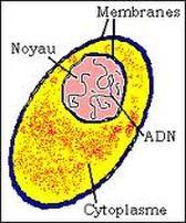 Le cytoplasme C'est le milieu aqueux séparant le noyau de la membrane plasmique et dans lequel baignent les organistes cellulaires. Il est composé d'environ 75% d'eau dans laquelle des substances minérales et organiques sont soit dissoutes soit en suspension. Ce liquide intracellulaire est le milieu de transport des nutriments et des déchets de la cellule. Il est également le siège des différentes transformations chimiques cellulaires.