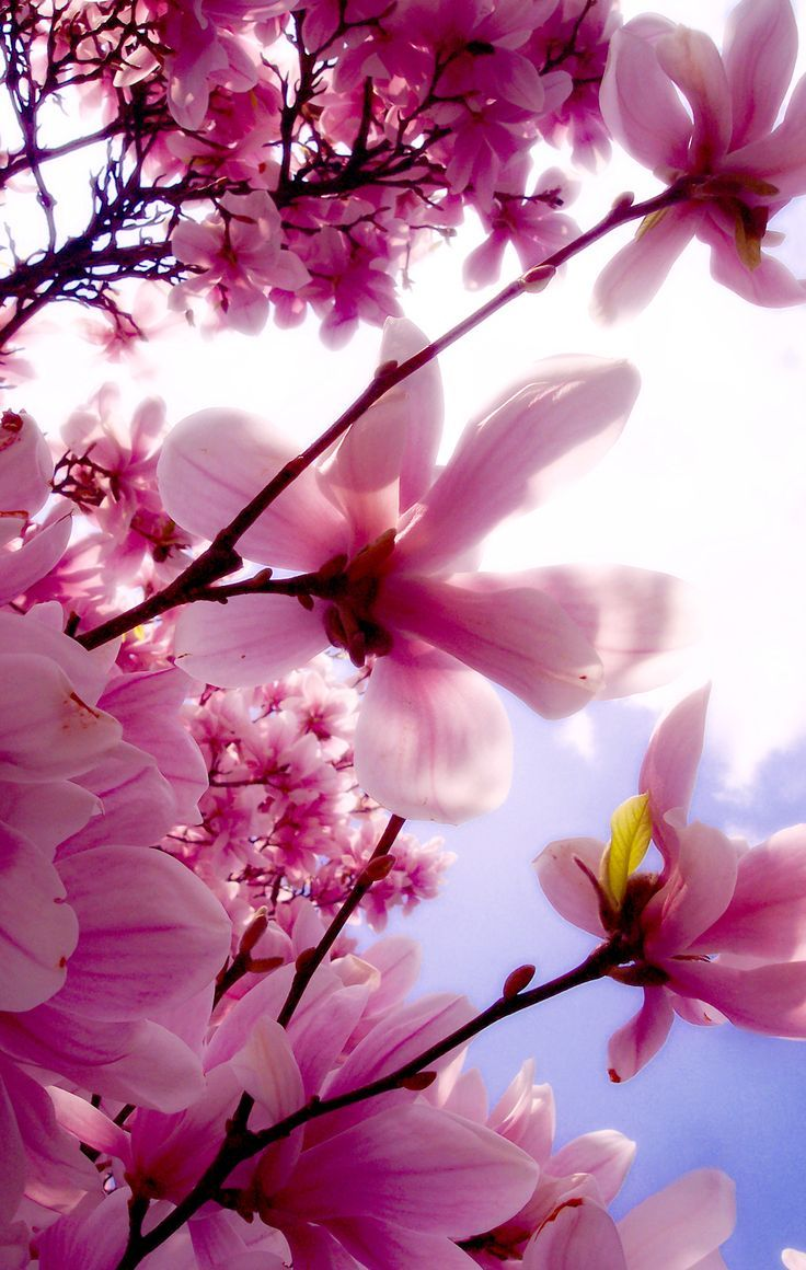 Cherry blossom white flowers branch close up hd wallpaper zoomwalls - Cherry Blossom White Flowers Branch Close Up Hd Wallpaper Zoomwalls 36