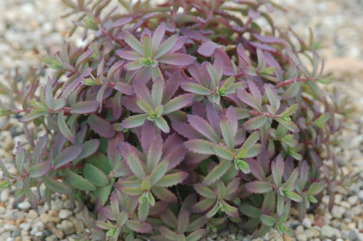 Sedum Plum Perfection