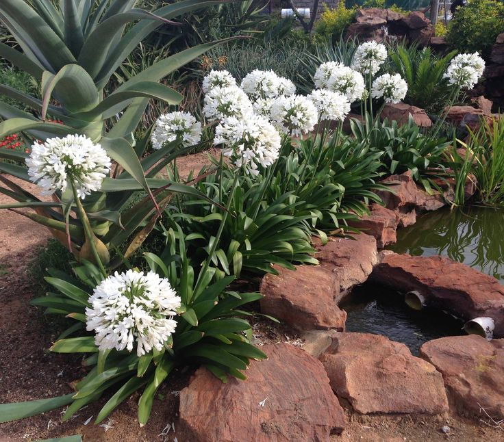 Agapanthus Great White bred and originating from CND Nursery