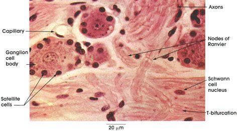 Plate 6.103 Dorsal Root Ganglion: Sensory Neurons