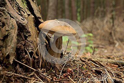 Boletus edulis - Tylopilus felleus poisonous mushroom in forest