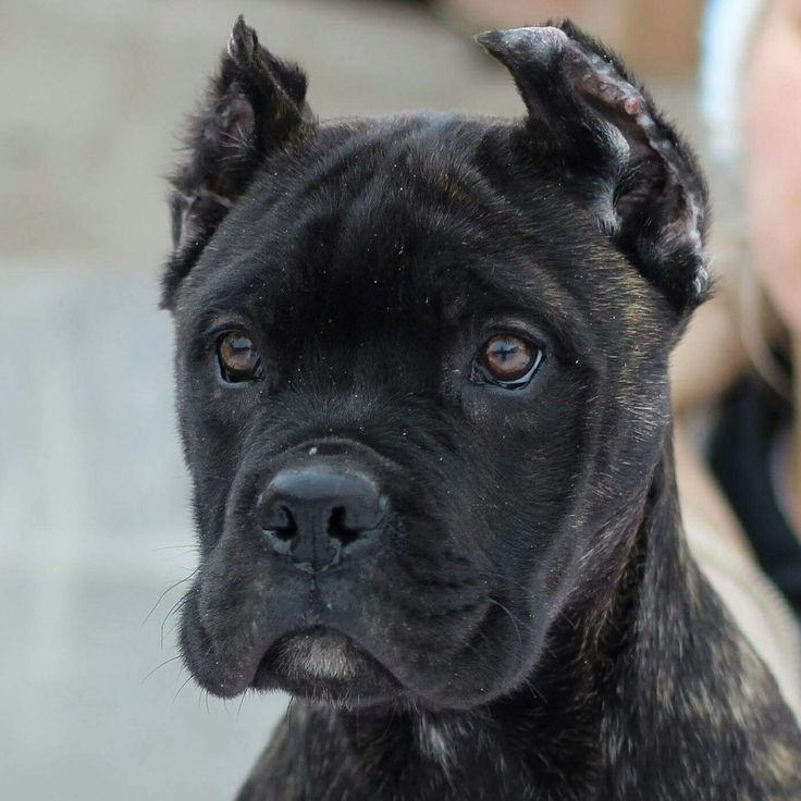 Top quality Cane Corso puppies for sale. www.canecorsolux.com