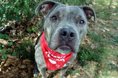 river_a1090849 TO BE DESTROYED 10/02/16 A volunteer writes: We are really hoping patience gets a reward in the form of a loving home, because this darling girl is so extraordinarily patient. In the shelter, she waits so sweetly for her walk. In the park, she waits so sweetly while other dogs are cooed over. She even walks patiently, never pulling on the leash and either wagging her tail at or ignoring any dogs who are strolling nearby. With her pouty little underbite and adorable petite…