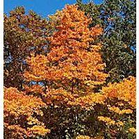 TR2370, TR2371, TR2372, Sassafrax variifolium, sassafras tree, sassafras trees, sassafra, sasafras, sassifras, sassofras, sasifras, sassyfras, sassafras oil, flowering, small fruit, fragrant, tree