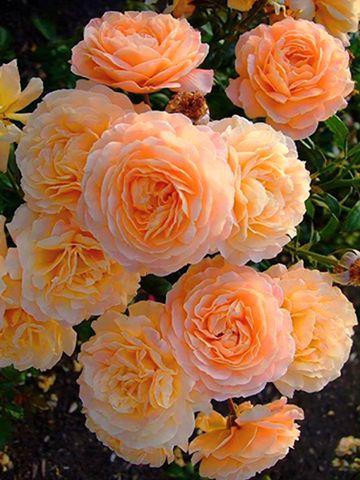 Çok güzel güller