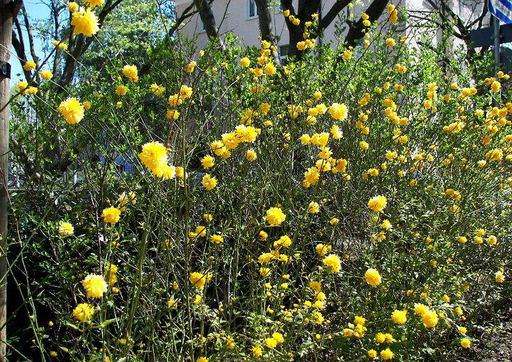 Kerria, Ranunkelstrauch Sichtschutzstreifen pflanzen, freiwachsende Hecke, Blütengehölz :-)