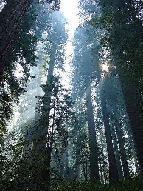 Redwoods.: Redwood California, Redwood National Parks, Natural Beautiful, Redwood Forests, Amazing Places, God Lights, Mothers Natural, Beautiful Mothers, California Buckets
