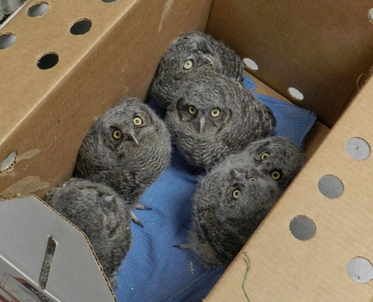 The Case of the Great Horned Owl Mix Up | Northwest Public Radio | Western Screech Owlets