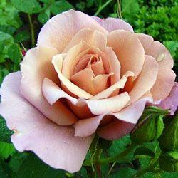 саженцы роз Лавендер Пиноккио дешево
