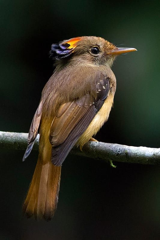 Atlantic Royal Flycatcher by Arlei Bertani