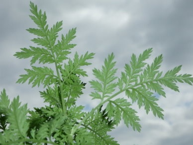~Artemisia annua (Sweet Wormwood  ~Asteraceae  ~Traditional: TCM for malaria and skin disease  ~Phytochem: artemesinin sesquiterpene lactone  ~Activity/MOA: MDR malaria, synthetic analogs (artesenuate, artemether)