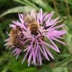 La primavera è alle porte, le api cominciano il loro lavoro La primavera sta già bussando alle porte e le api sono pronte a cominciare la loro stagionale fatica alla ricerca di nettare, polline e sostanze zuccherine. Come le api fanno il miele dal nettare. #miele #primavera #api #lavoro #sapa