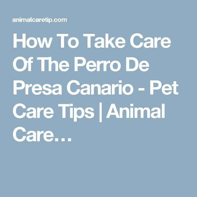 How To Take Care Of The Perro De Presa Canario - Pet Care Tips | Animal Care…
