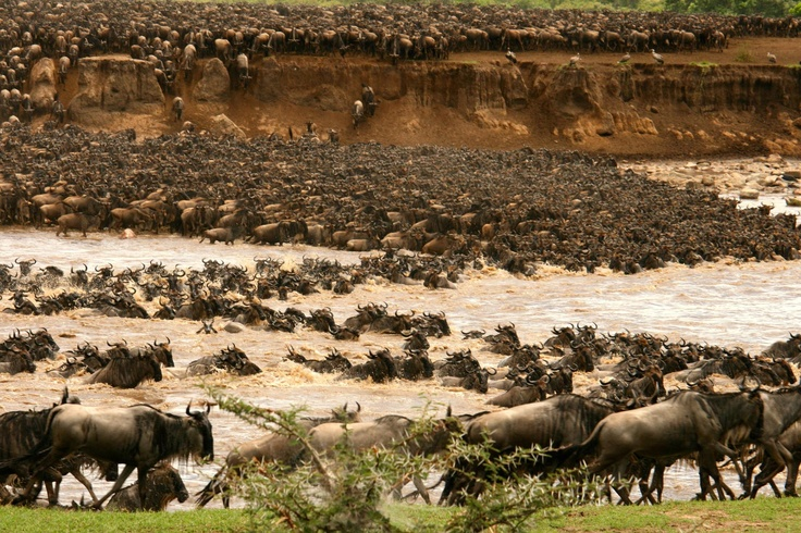 25,000 to 50,000 Wildebeests migration,crossing the Mara River in Serengeti