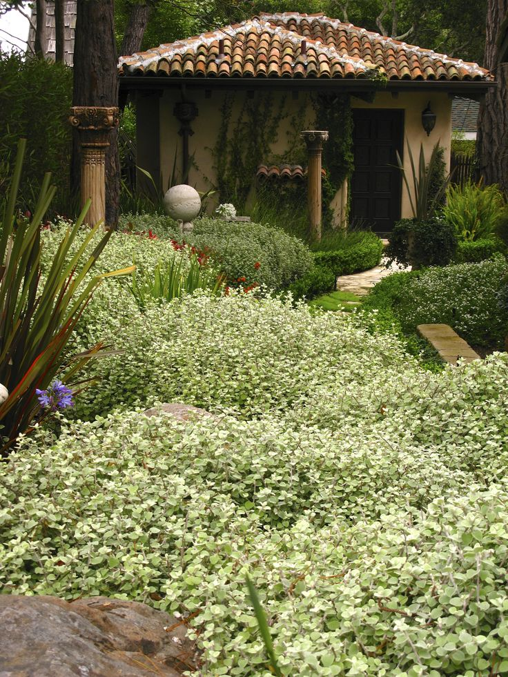 This creative gardener uses  Helichrysum petiolare in masses. How effective.