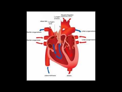herz organ herz organ Hearts (im Singular Herz Latein Anatomie Corp griechischen und Herzkrankheit oder Herz des lateinischen καρδία) kommen in verschiedenen Gruppen von Tieren muskuläres Hohlorganherz organ das Blut mit rhythmischen Kontraktionen oder Hämolymphe durch den Körper und somit sicherzustellenherz organ die Lieferung aller Geräte Pumpen herz organ