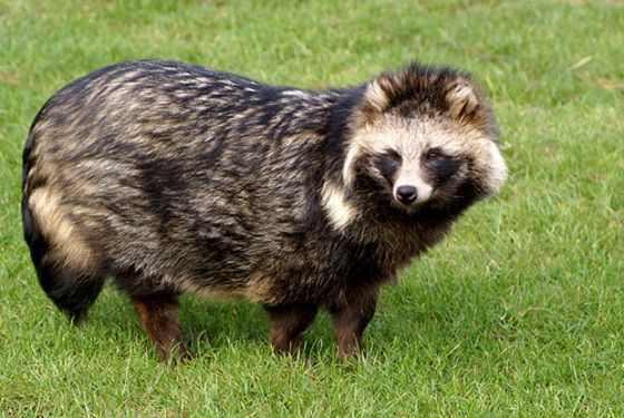 Raccoon dog Animals Pinterest Cas, Jackets and Pets