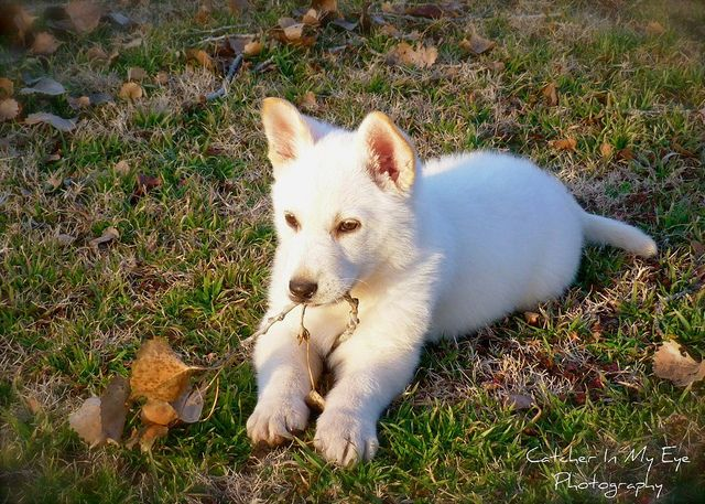 WINTER White  White German Shepherd Puppy :)