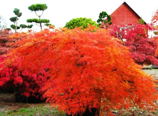 'Viridis' Japanese Maple (Acer palmatum dissectum): Amazing fall color, otherwise is green, 8-10'h x 8'w, mostly shade