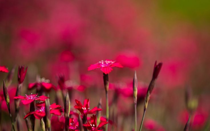 Red flowers wallpaper wallpapers for free download about