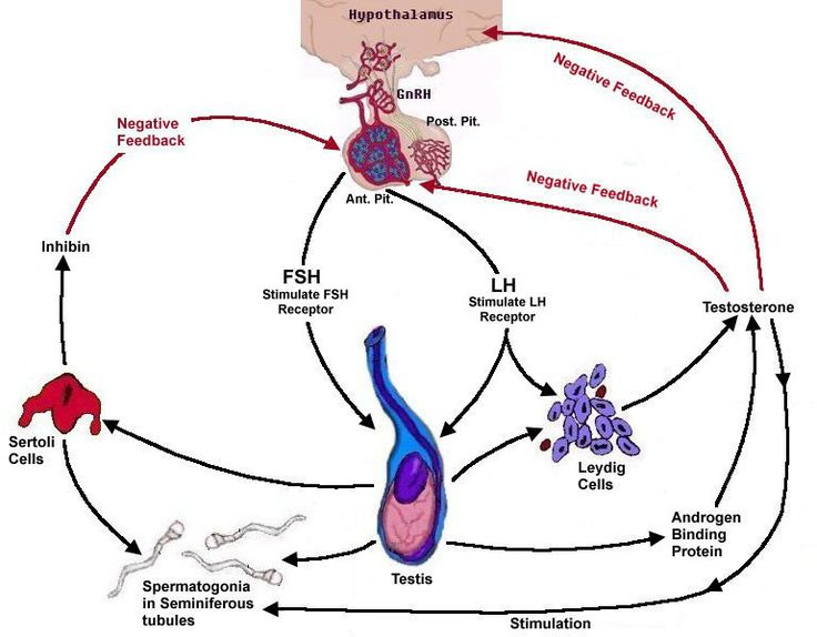 35 best images about Endocrine System on Pinterest ...
