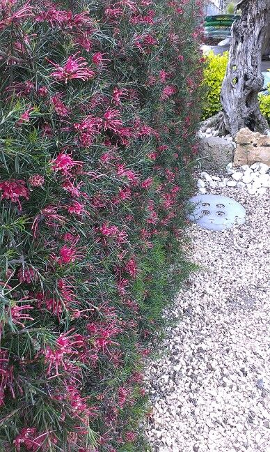 Drought tolerant hedge that can be clipped and nevertheless flowers in spring: Grevillea. I found this in a garden centre in Lloret de Mar.