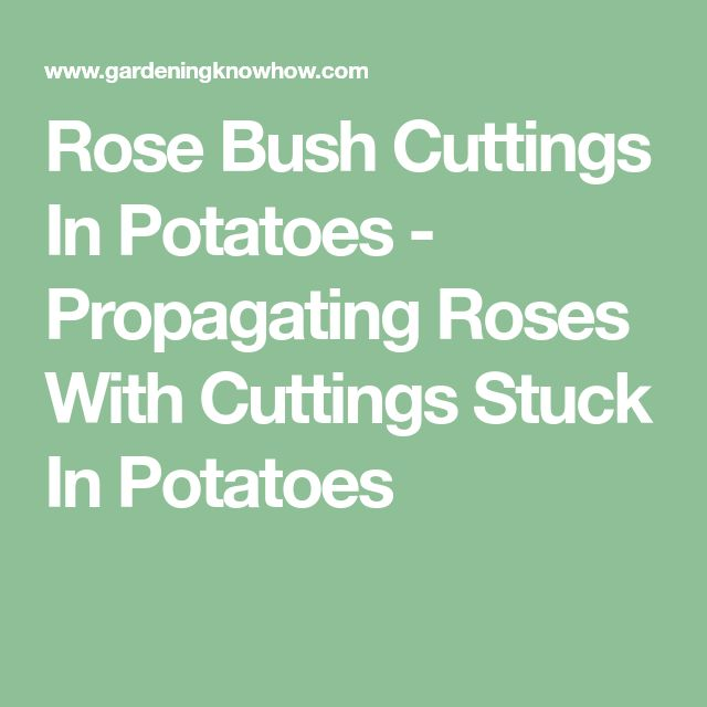 Rose Bush Cuttings In Potatoes - Propagating Roses With Cuttings Stuck In Potatoes