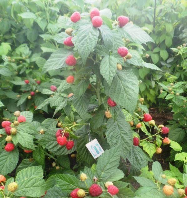 Малиновое дерево или штамбовая малина: сорта и уход