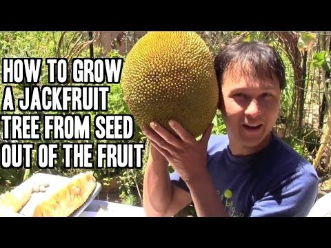 How to Grow a Jackfruit Tree from Seed out of the Fruit - YouTube