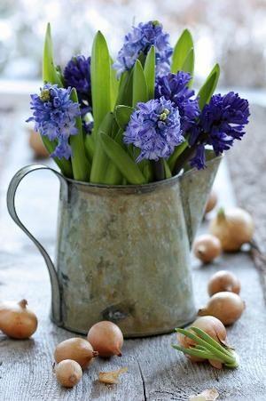 Bekijk de foto van kittyschreurs met als titel hyacinten   heerlijke geur en andere inspirerende plaatjes op Welke.nl.