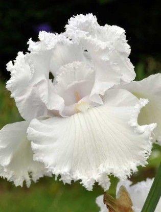 Iris 'Queen Of Angels'