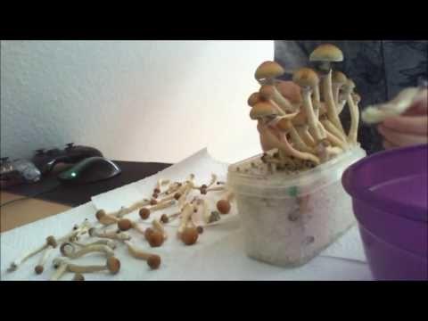 Psilocybe cubensis Ecuador first grow - YouTube | mushrooms