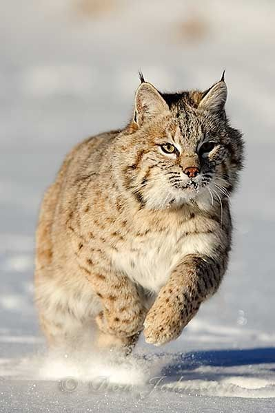 North American Cats - Bobcat (Felis rufus). Young cat, first winter - By Don Johnston 500px