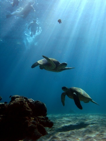 sea turtles snorkeling hawaii