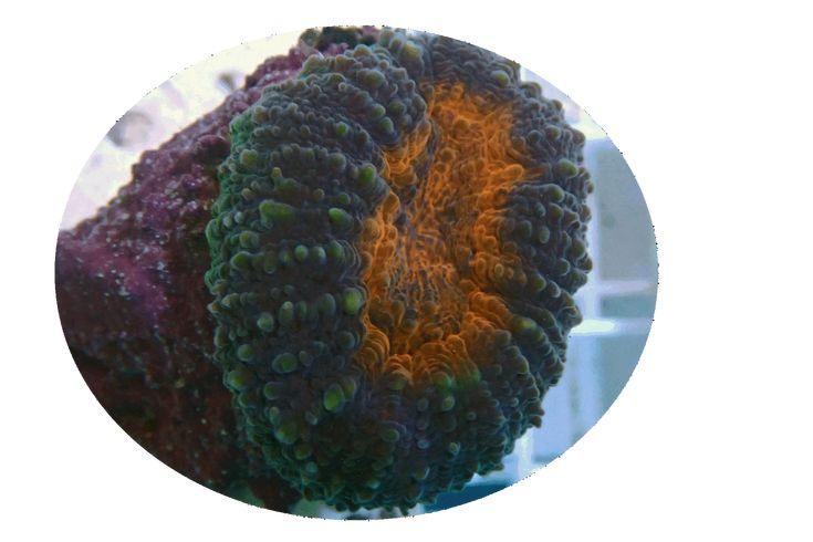 Orange Center Lobophyllia Brain