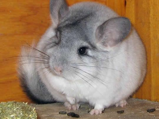 in the beginning when she is singing and there is a cat with her it would be a chinchilla because they are much cuter.