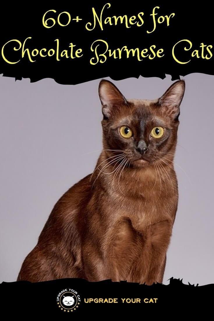 60 Chocolate Burmese Cat Names Burmese Cat Cat Names Chocolate Cat