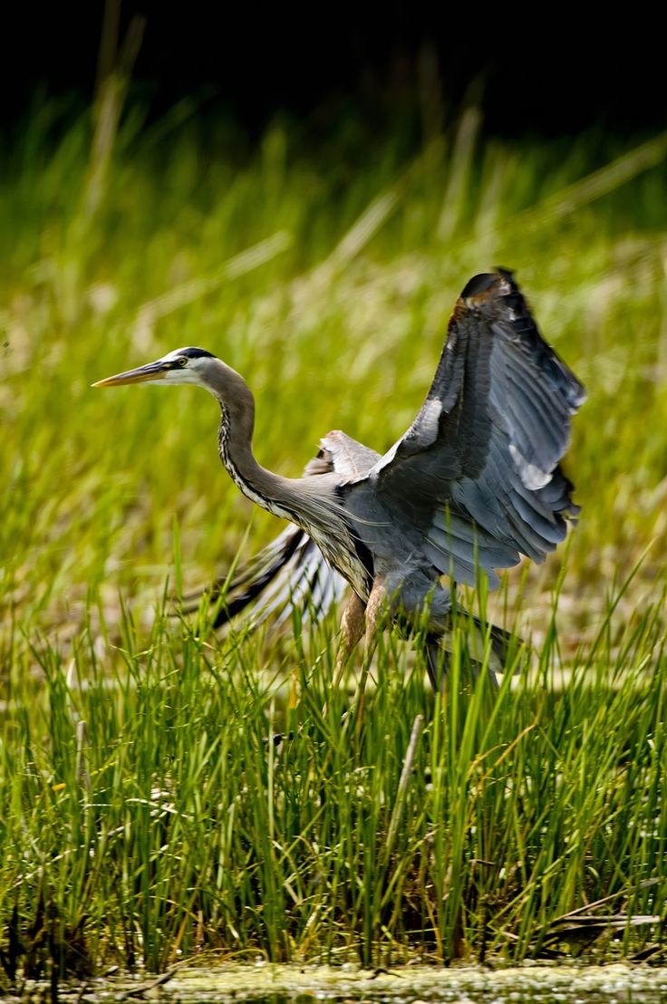 153 best heron 4 images on pinterest herons blue heron and