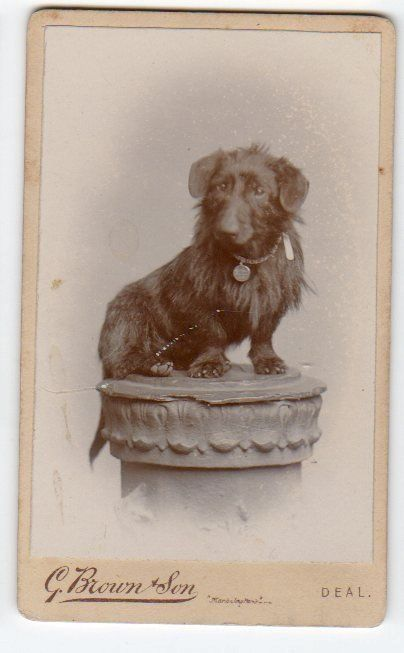 CDV Dog Wire Haired Dachshund by Brown of Deal really cute quality image